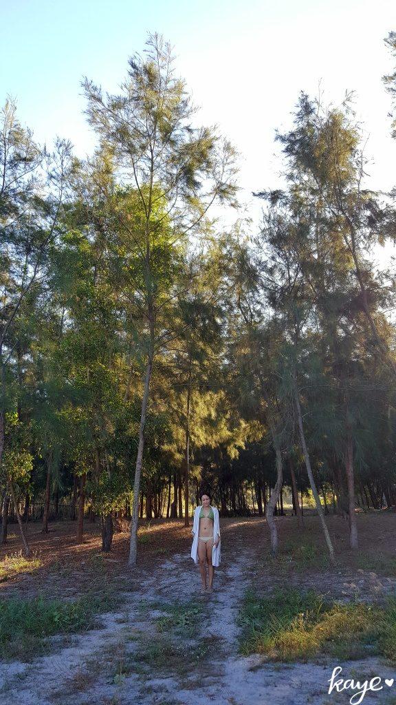 Agoho trees in Zambales