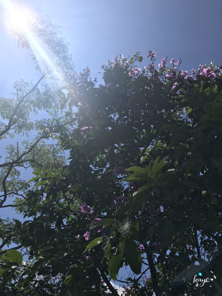 Purple blossoms of Banaba tree under the rays of the sun