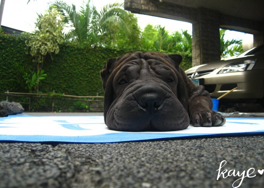 black sharpei on a poster