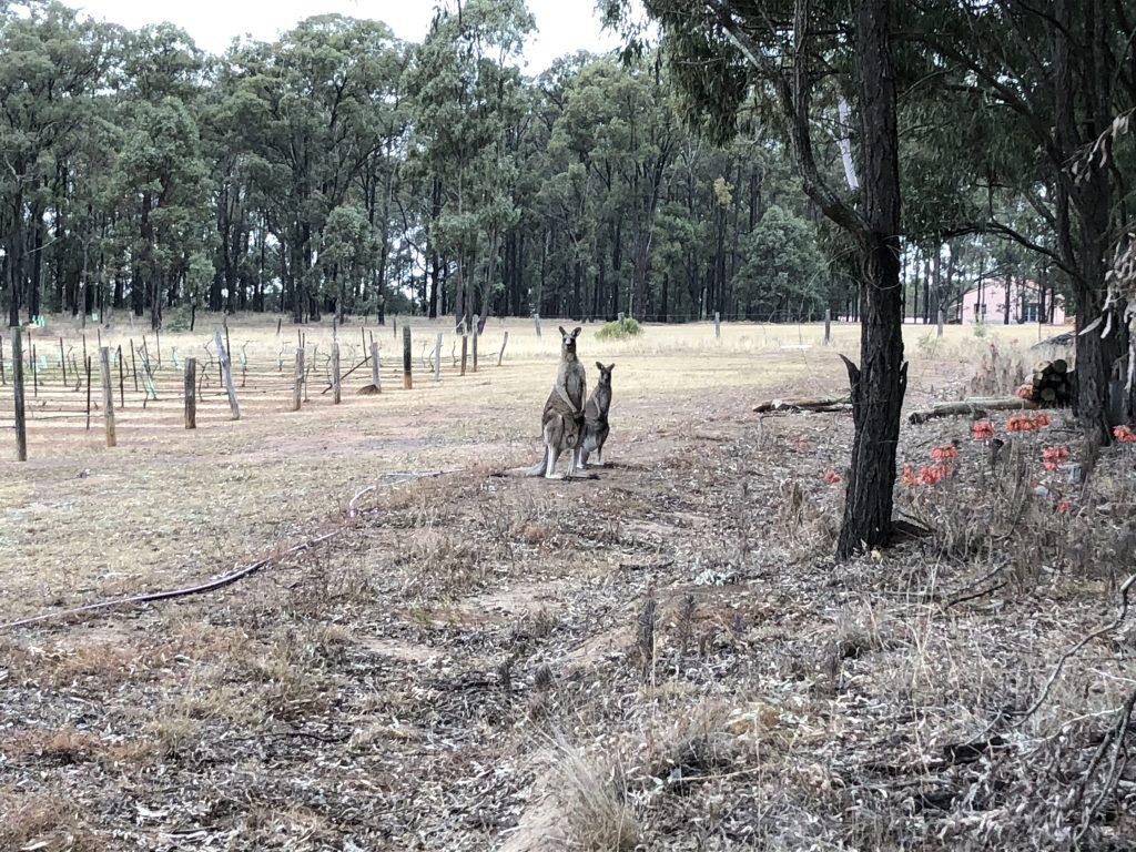 Kangaroos in Bimbadgen
